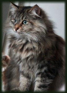 Siberian Forest Cat, Siberian Cat, Animals Of The World, Animals And Pets, Cute Animals, Beautiful Cats, Animals Beautiful, Cat Paws, Dog Cat