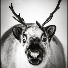 Today I met reindeers of the Santa Claus: I hope that they are on time to bring us our presents. #MerryChristmas #Noel #animalphotography - Svalbard 2014 by @laurentbaheux