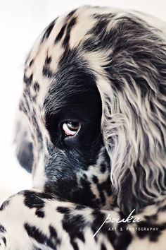 English Setter puppy giving the cutest look. Dog/Pet portrait photography.