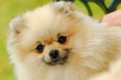 All about the Pomeranian