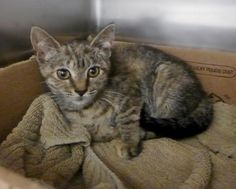 Meet Andrea 35585295, an adoptable Tabby looking for a forever home. If you're looking for a new pet to adopt or want information on how to get involved with adoptable pets, Petfinder.com is a great resource.
