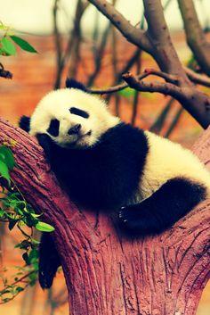 Panda Bear, China Easy Planet Travel - World travel made simple Cute Baby Animals, Animals And Pets, Funny Animals, Wild Animals, Image Panda, Panda Facts, Panda Mignon, Panda Lindo, Baby Panda Bears