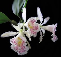 Trichopilia Suavis Orchid | Trichopilia suavis. Заметки о культуре