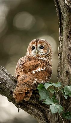 owl on a tree limb.