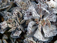Kalanchoe rhombopilosa – Pies from Heaven - See more at: http://worldofsucculents.com/kalanchoe-rhombopilosa-pies-from-heaven
