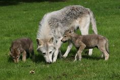 Baby Wolves with There Moms | Grey wolf cubs longleat safari park with mom