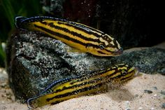Julidochromis Regani is a beautiful cichlid from lake Tanganyika in Africa. They are an amazingly colorful species of freshwater fish and have lively vibran ..