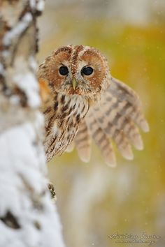What? I am curious! Tawny Owlet by Stanislav Duben