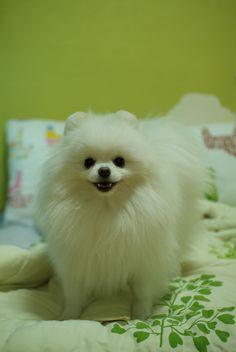 """White Pomeranian """"MOA"""""""