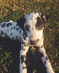 All the sass when he's done walking for the day  Via @whitneymaie #DalmatianNation by dalmatiannation #lacyandpaws