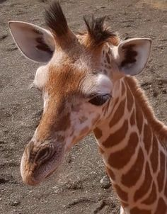 Jungle Animals, Animals And Pets, Baby Animals, Crazy Faces, Giraffe Art, Stand Tall, Zebras, Adorable Animals, Beautiful Creatures