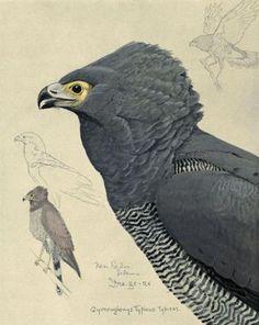 Fuertes, Louis Agassiz (1874-1927) - Album of Abyssinian Birds & Mammals 1930 (African Harrier-Hawk) - 3-32. #vintage, #animals, #bird