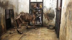 HELP CLOSE THIS HELL ON EARTH!  DEMAND THE SURABAYA ZOO BE CLOSED!   Tigers are kept locked in small concrete cells because they do not have enough room to exercise. They are allowed out of their damp cells for only 3 days for every 10 they are locked up. Some animals have chronic long term back and leg complaints because they cannot exercise. Many have wasting digestive diseases from eating tainted meat. PLEASE KEEP SHARING!