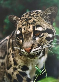 Clouded Leopard Cub - just look at that face!