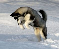 A Siberian Husky Puppy is my dream dog, besides the ones I already have #SiberianHusky