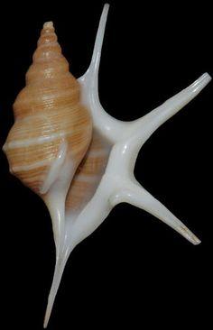 Aporrhais-pesgallinae, Pelican's Foot Shell