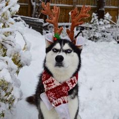 Owner Attempts To Do A Christmas Card Photoshoot With Her Husky, And The Results Are Just Too Funny - World's largest collection of cat memes and other animals Christmas Photo Cards, Christmas Dog, Christmas Pictures, Grinch, Grumpy Dog, Funny Animals, Cute Animals, Husky Photos, Cute Puppy Pictures