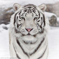 The Siberian Tiger - Less than 500 of these beautiful creatures remain in the wild!