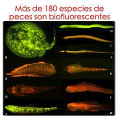 """Más de 180 especies de peces emiten luz verde, amarilla o roja, al iluminarlos con luz azul, según publicó PLOS ONE en enero. El fenómeno, denominado """"biofluorescencia"""", ha sido estudiado en medusas y corales. Sin embargo, hasta ahora no se conocía que podía estar presente en peces. Al ser las proteínas fluorescentes muy útiles en investigación biomédica, este hallazgo puede originar nuevas herramientas de estudio de enfermedades. www.facebook.com/divulgades"""