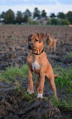 Coin Dogs - Breed and Race Dogs Game Fox Terrier, Amstaff Terrier, Cute Puppies, Cute Dogs, Dogs And Puppies, Doggies, Pitbull Mix Puppies, Cute Dog Photos, Dog Pictures