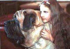 Personality of the English Mastiff - English Mastiff - dog of dogs
