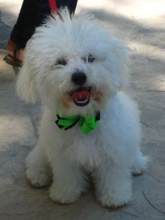 My bichon puppy! <3bichon frise Aww... CHI CHI LOVES THIS PICTURE, THIS COULD BE CHI CHI