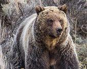 Defensive Grizzly Bear, Wildlife Photography, Fine Art, Nature Photography, Animal Photography, Rob's Wildlife, Epic Wildlife Adventures