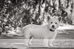Columbus Dog Portraits: Winston the Westie at Creekside