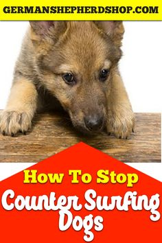 Latest Pics How to stop counter surfing dogs Dog training, german shepherd, german shepher. Tips How Are Pets Given Fundamental Obedience Training ? It has the absolute most simple instructions yo Training Your Puppy, Dog Training Tips, Puppy Training Schedule, German Shepherd Training, Dog Minding, Dog Whisperer, Dog Barking, Dog Hacks, Dog Behavior
