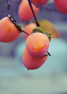 montana sweet pea