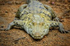 pia of interest crocodiles africa Reptiles, Amphibians, Mammals, Ghana, Reticulated Python, Hatch Baby, Vertebrates, Places Of Interest, West Africa