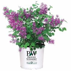 PW Bloomerang Lilac L gal. Bloomerang Lilac, Spring Blooms, Spring Flowers, Deer Resistant Flowers, New Growth, Purple Lilac, Photo Center, Fungi, Colorful Flowers