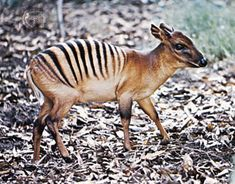 The zebra duiker is a small antelope found in the Ivory Coast and other parts of Africa. Their prong-like horns are about cm long in males that in females. They live in lowland rainforests and eat fruit and leaves Rare Animals, Animals And Pets, Funny Animals, Wild Animals, Africa Hunting, Save Wildlife, African Animals, Animals Of The World, Zebras