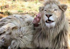 Ele parece estar sendo devorado por leões e não poderia estar mais feliz