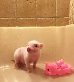 Tiny pigs, pet pigs, cute baby animals, cute baby pigs, super c Super Cute Animals, Cute Little Animals, Cute Funny Animals, Cutest Animals, Cute Baby Pigs, Cute Piglets, Baby Piglets, Tiny Pigs, Pet Pigs