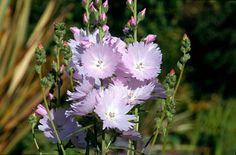 Sidalcea 'Elsie Heugh' | prairie mallow 'Elsie Heugh'/RHS Gardening