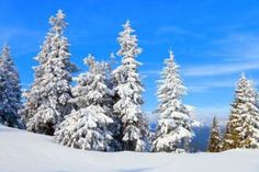 Fantastic fluffy Christmas trees in the snow. Postcard with tall pine, blue sky and snowdrift. Winter landscape in the sunny day. New Year scenery. Blue Sky Photography, Beautiful Landscape Photography, Snow Photography, Beautiful Landscapes, Flower Landscape, Fantasy Landscape, Winter Landscape, Winter Time, Winter Snow