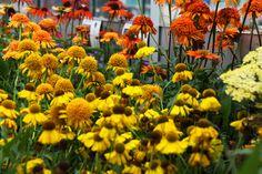 Zonnebloemen - meer