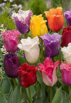 Ruffled tulips.