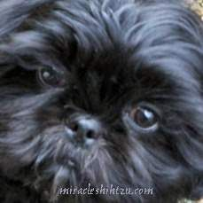 All About Playfull Shih Tzu Puppies Temperament Shih Tzu Puppy, Shih Tzus, Yorkie, Cute Pomeranian, Getting A Puppy, Blue Merle, New Puppy, Cool Eyes, Dog Grooming