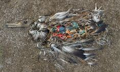 Saving the albatross: 'The war is against plastic and they are casualties on the frontline'   Environment   The Guardian