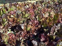 """How to grow and harvest """"cut and come again"""" lettuce, for perpetual salad greens"""