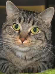Adeline is an adoptable adult spayed female brown tabby Domestic Short Hair cat in Jefferson, WI.