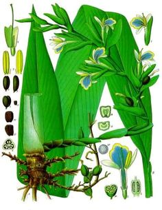Get to know the many cardamom spice benefits. About the cardamom plant. How to use cardamom spice in cooking. Discover the cardamom health benefits. Illustration Botanique, Plant Illustration, Botanical Illustration, Botanical Drawings, Botanical Prints, Cardamom Plant, Impressions Botaniques, Healthy Herbs, Essential Oils For Skin