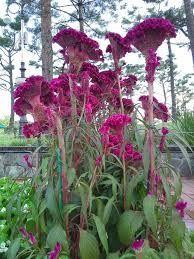 맨드라미그림에 대한 이미지 검색결과 Flower Photos, Embroidery Designs, Flora, Landscape, Plants, Painting, Gardens, Google, Scenery