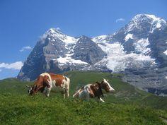 Je zal maar koe zijn in zo'n mooi gebied.