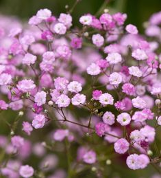 Buy Gypsophila paniculata 'Flamingo' from Sarah Raven: This pink perennial gypsophila looks best arranged on its own or hanging as a mini-globe. Home Flowers, Bulb Flowers, Pink Flowers, Small Flowers, Pink Perennials, Hardy Perennials, Summer Bulbs, Spring Bulbs, Planting Bulbs