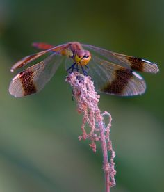 Dragonfly by Praviсk Sergej Gossamer Wings, Beautiful Bugs, Bugs And Insects, Mundo Animal, Chenille, Love Bugs, Beautiful Creatures, Pet Birds, Ladybug