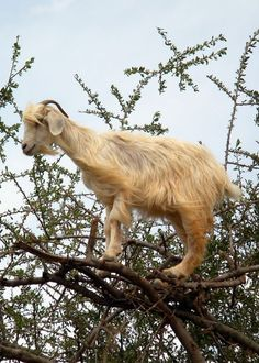 Tree Climbing GOAT... :) I LOVE goats. And my goats would do this if there was tasty stuff in the tree.