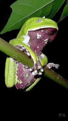 Phyllomedusa bahiana tree frog